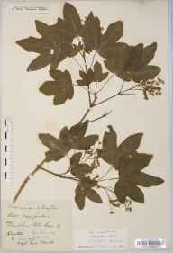 Acer campestre var. hebecarpum herbarium specimen from Wembdon, VC5 South Somerset in 1832 by Mr Thomas Clark.
