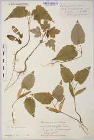 Acer pseudoplatanus herbarium specimen from Clifton, VC34 West Gloucestershire in 1935 by Mr Harold Stuart Thompson.