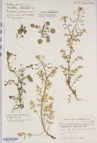 Rorippa nasturtium-aquaticum herbarium specimen from Chew Magna Reservoir, VC6 North Somerset in 1933 by Mr Harold Stuart Thompson.