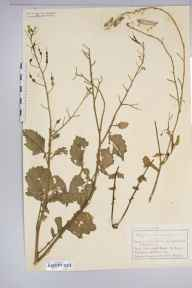 Raphanus raphanistrum subsp. maritimus herbarium specimen from Falmouth, VC1 West Cornwall in 1886 by Mr Charles Bailey.