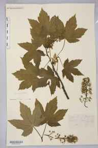 Acer pseudoplatanus herbarium specimen from Hoarwithy, VC36 Herefordshire in 1898 by Rev. Augustin Ley.