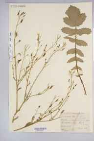 Raphanus raphanistrum subsp. maritimus herbarium specimen from Kilchattan Bay, VC100 Clyde Islands in 1898 by Mr Alexander Somerville.