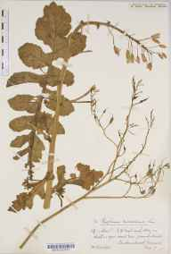 Raphanus raphanistrum subsp. maritimus herbarium specimen from Landewednack, VC1 West Cornwall in 1878 by Mr William Booth Waterfall.