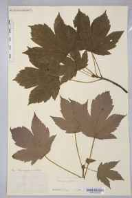 Acer pseudoplatanus herbarium specimen from Carleton, VC63 South-west Yorkshire in 1899 by Rev. Augustin Ley.