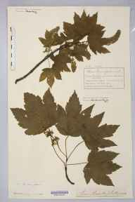 Acer pseudoplatanus herbarium specimen from Knutsford, VC58 Cheshire in 1894 by Mr Charles Bailey.