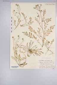 Nasturtium sylvestre herbarium specimen from Chew Magna Reservoir, VC6 North Somerset in 1933 by Mr Harold Stuart Thompson.