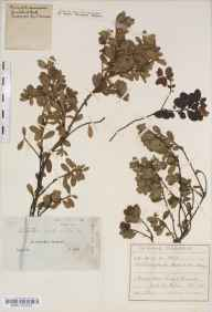 Arctostaphylos uva-ursi herbarium specimen from Inverness-shire in 1850 by J Ball.