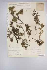 Arctostaphylos alpinus herbarium specimen from Loch Callater, VC92 South Aberdeenshire in 1934 by Mr Edward Charles Wallace.
