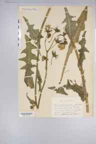Sonchus arvensis herbarium specimen from blagdon reservoir, VC6 North Somerset in 1932 by Mr Harold Stuart Thompson.