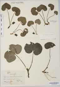 Asarum europaeum herbarium specimen from Settle, VC64 Mid-west Yorkshire in 1838 by John Tatham.