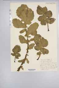 Brassica rapa subsp. campestris herbarium specimen from Berrow, VC6 North Somerset in 1931 by Mr Harold Stuart Thompson.