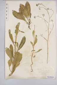 Brassica  herbarium specimen from Lydbrook, VC34 West Gloucestershire in 1899.