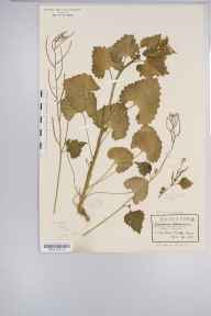 Alliaria petiolata herbarium specimen from Bush End, VC19 North Essex in 1922 by Rev Douglas Montague Heath.