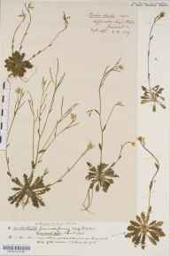 Arabis scabra herbarium specimen from Leigh Woods, VC6 North Somerset in 1889 by Mr Harold Stuart Thompson.