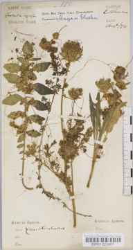 Cuscuta europaea herbarium specimen from Eastbourne, VC14 East Sussex in 1874 by Dr Robert Large Baker.