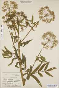 Sium latifolium herbarium specimen from Shapwick, VC6 North Somerset in 1888 by Mr Harold Stuart Thompson.