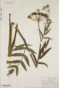 Sium latifolium herbarium specimen from Thompson, VC28 West Norfolk in 1916 by Frederick Robinson.