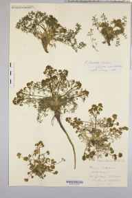 Trinia glauca herbarium specimen from Saint Vincent's Rocks, VC34 West Gloucestershire in 1900 by Rev. Augustin Ley.