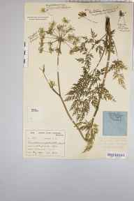 Peucedanum palustre herbarium specimen from Shapwick Moor, VC6 North Somerset in 1930 by Mr Harold Stuart Thompson.