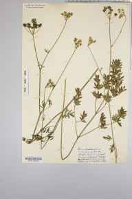 Silaum silaus herbarium specimen from Blagdon, VC6 North Somerset in 1937 by Mr Harold Stuart Thompson.