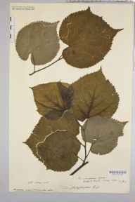Tilia platyphyllos herbarium specimen from May Hill, VC36 Herefordshire in 1908 by Rev. Augustin Ley.
