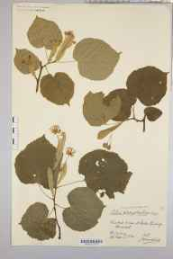 Tilia platyphyllos herbarium specimen from Stoke Bishop, VC34 West Gloucestershire in 1924 by Mr James Walter White.