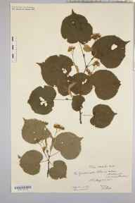 Tilia cordata herbarium specimen from Geddington Chase, VC32 Northamptonshire in 1910 by Rev. Augustin Ley.