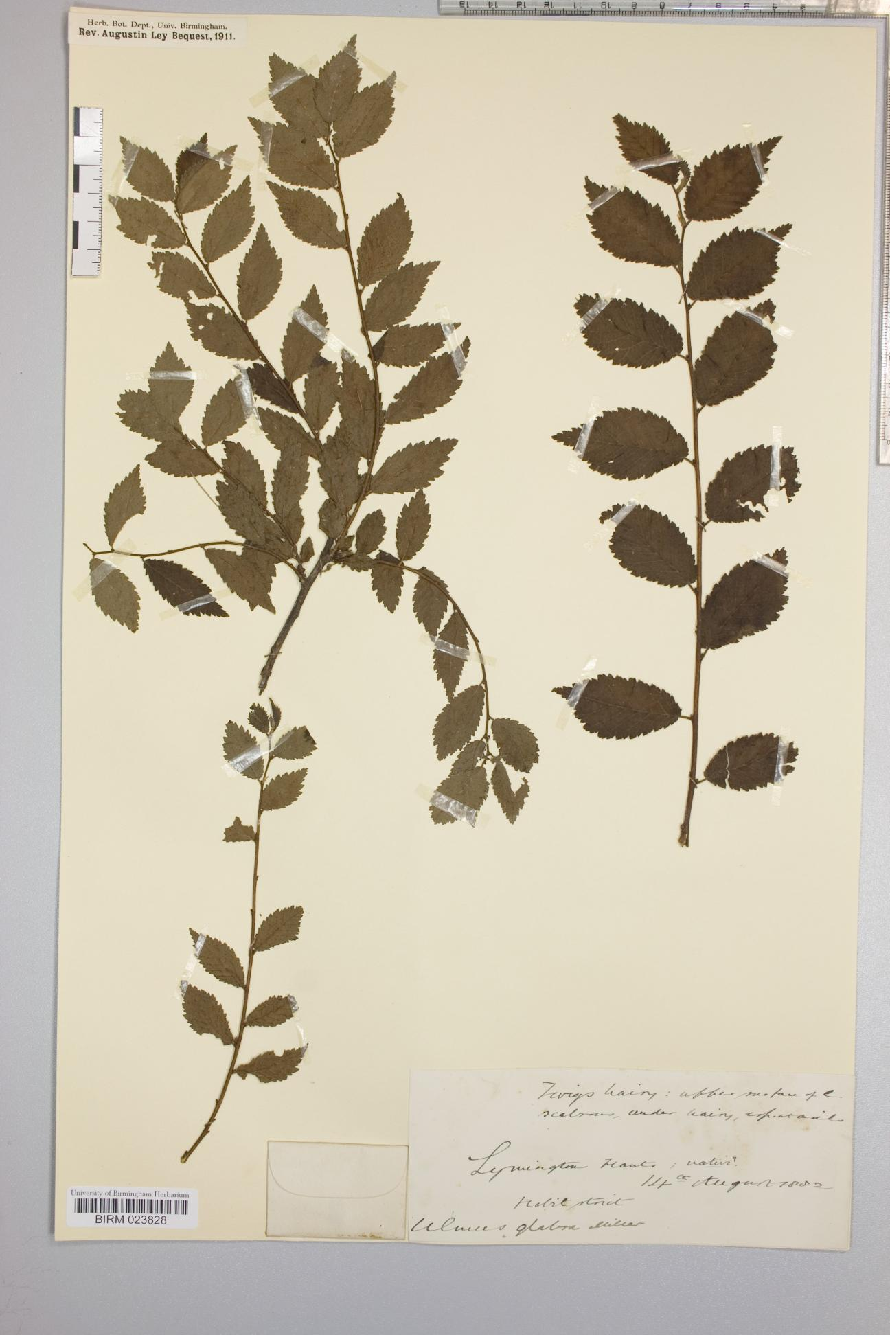 Ulmus glabra herbarium specimen from Lymington, VC11 South Hampshire in 1882 by Rev. Augustin Ley.