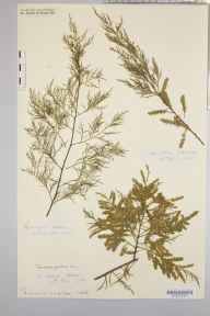 Tamarix gallica herbarium specimen from Saint Mary's, Scilly Isles, VC1 West Cornwall in 1883 by Rev. Augustin Ley.
