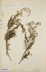 Tamarix gallica herbarium specimen from Pakefield, VC25 East Suffolk in 1875 by Emily Francis Jordan.