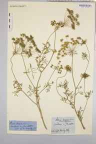 Ammi majus herbarium specimen from Gloucester, VC33 East Gloucestershire in 1868 by Dr Gustavus A Ornano St Brody.