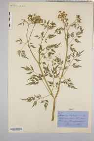 Aethusa cynapium herbarium specimen from Breinton, VC36 Herefordshire in 1871 by Rev. Augustin Ley.