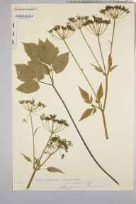 Aegopodium podagraria herbarium specimen from Builth Wells, VC42 Breconshire in 1898 by Rev. Augustin Ley.