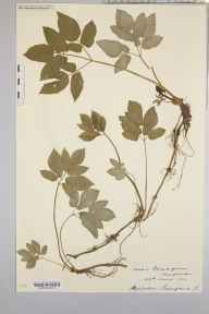 Aegopodium podagraria herbarium specimen from Sellack, VC36 Herefordshire in 1904 by Rev. Augustin Ley.
