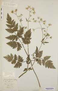 Anthriscus sylvestris herbarium specimen from Flitwick, VC30 Bedfordshire by Mary Ann Brooks.