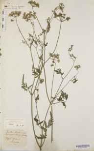 Torilis japonica herbarium specimen collected by Mary Ann Brooks.