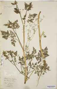 Anthriscus caucalis herbarium specimen from Flitwick, VC30 Bedfordshire by Mary Ann Brooks.