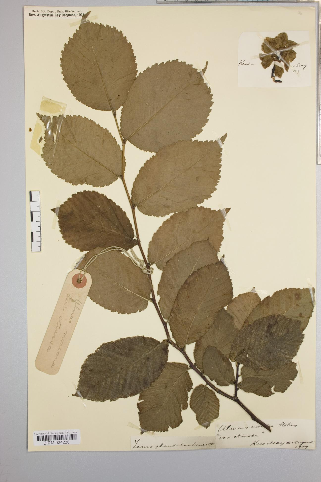 Ulmus glabra x minor x plotii = U. x hollandica herbarium specimen from Kew, VC17 Surrey in 1909.