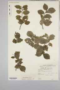 Ulmus minor subsp. minor herbarium specimen from Leire, VC55 Leicestershire in 1963.