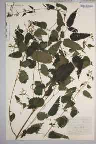 Urtica dioica herbarium specimen from VC36 Herefordshire in 1891 by Rev. Augustin Ley.