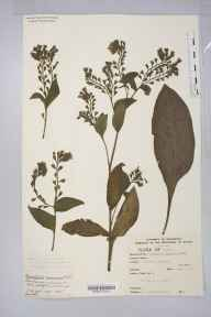 Symphytum caucasicum herbarium specimen from Winscombe, VC6 North Somerset in 1915 by Mr Harold Stuart Thompson.
