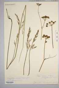 Oenanthe lachenalii herbarium specimen from Coughton Marsh, VC36 Herefordshire in 1882 by Rev. Augustin Ley.