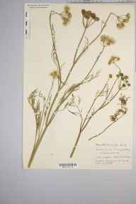 Oenanthe silaifolia herbarium specimen from Greatham, VC13 West Sussex in 1936 by Mr Edward Charles Wallace.
