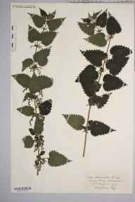 Urtica dioica herbarium specimen from Kerne Bridge, VC36 Herefordshire in 1909 by Rev. Augustin Ley.