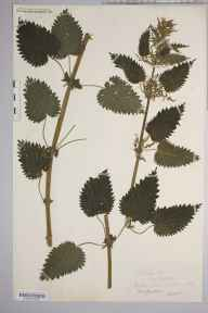 Urtica dioica herbarium specimen from Saint Weonards, VC36 Herefordshire in 1884 by Rev. Augustin Ley.