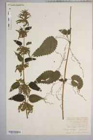 Urtica dioica herbarium specimen from Sellack, VC36 Herefordshire in 1889 by Rev. Augustin Ley.