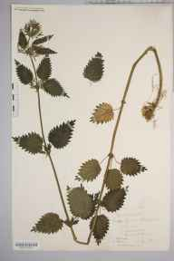 Urtica dioica herbarium specimen from Sellack, VC36 Herefordshire in 1886.