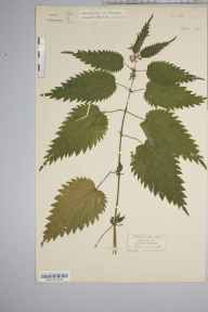 Urtica dioica herbarium specimen from Bristol,Clifton, VC6 North Somerset in 1849 by Miss Martha Maria Atwood.