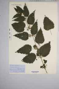 Urtica dioica herbarium specimen from Turf Moor, VC6 North Somerset in 1858 by Mr Thomas Clark.