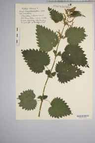 Urtica dioica herbarium specimen from Clevedon, VC6 North Somerset in 1932 by Mr Harold Stuart Thompson.